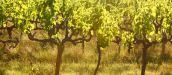Growing organic grapes? Here are some top tips